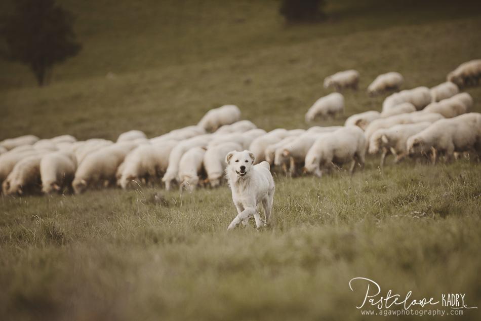 plener slubny owce