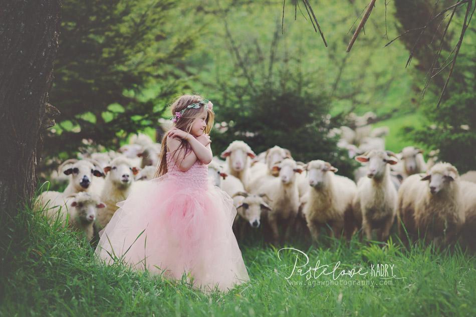 sesja z owcami